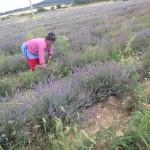 ラベンダー収穫中